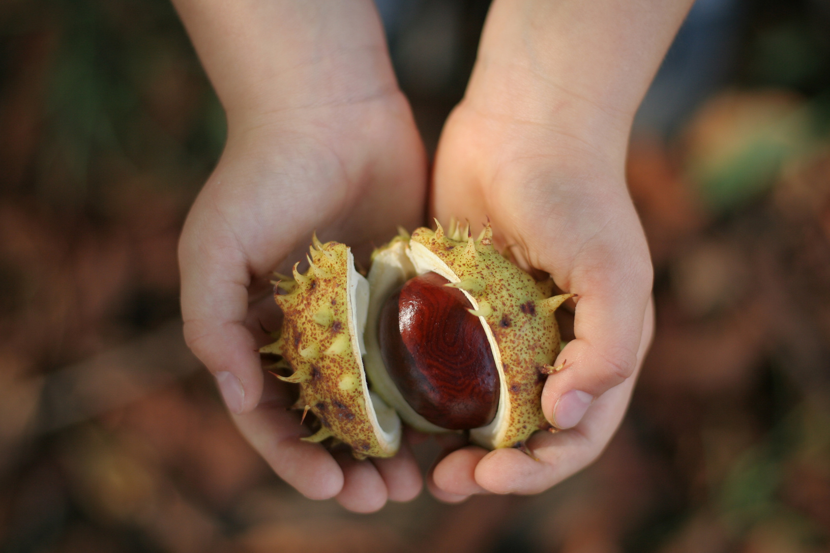 Children hands full of chestnuts in autumn colors