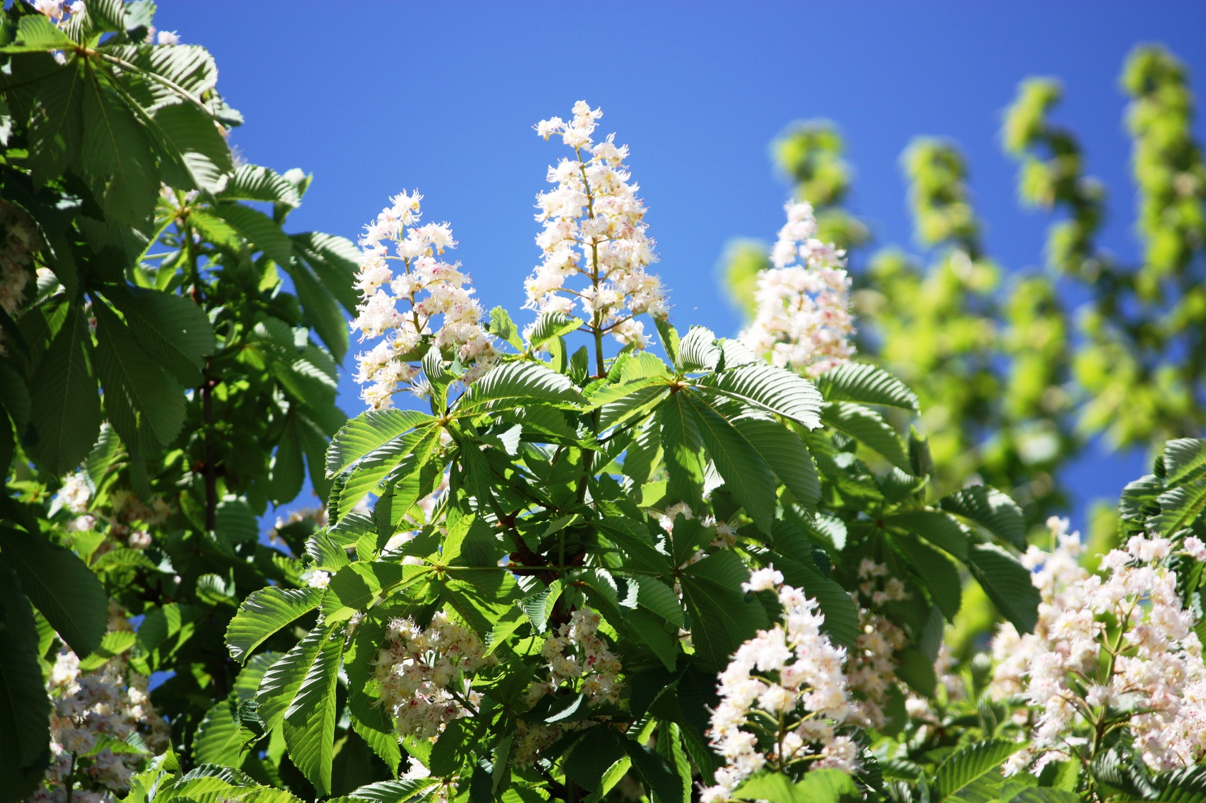 Blossoming Chestnut Tree under clear blue sky